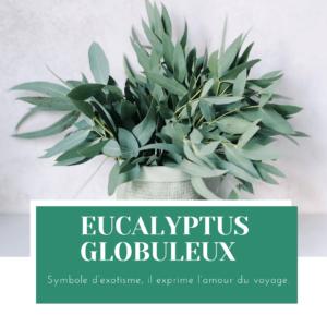 caractéristiques et propriétés eucalyptus globuleux